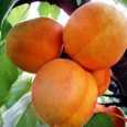 Pomi fructiferi Cais