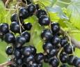 Pomi fructiferi Coacaz